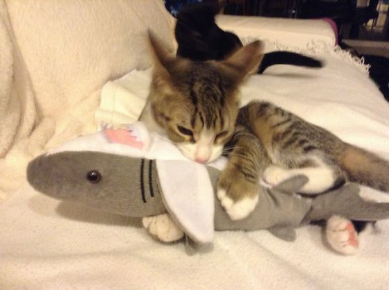 Cat Shark Attack (Image via BuzzFeed)