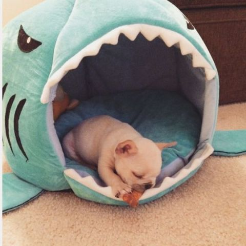 Dog-Sitting Shark (Image via tumblr)