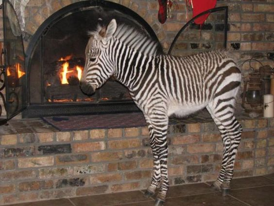 Indoor Zebra