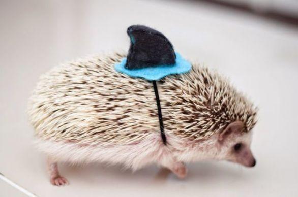 Hedgehog Shark (Image via tumblr)
