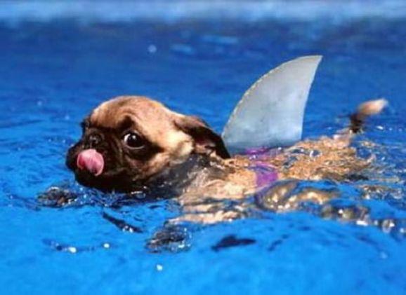 Pug Shark (Image via tumblr)