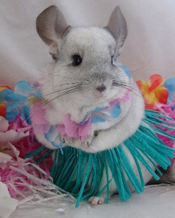 Hula Chinchilla (Image via Martha Stewart)