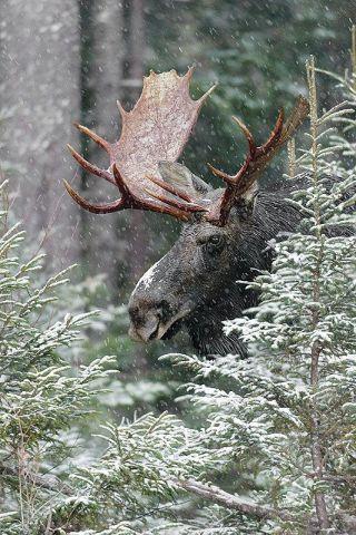 Cold Moose