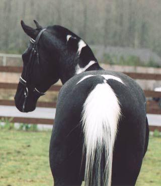 Skunk Horse (Image via Shirefox Farms)