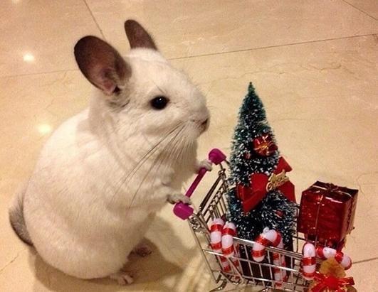 Chriatmas Shopping Chinchilla (Image via Facebook)