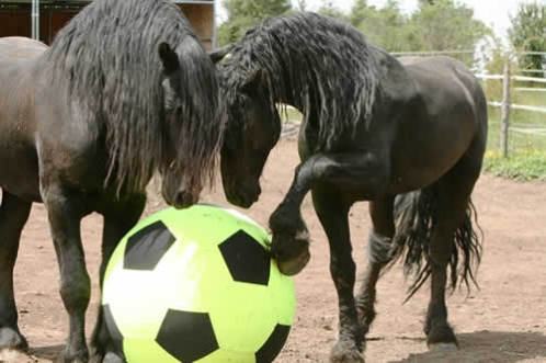 Fresian stallions play with their Equi-Spirit Ball: image by Laura Zugzda, owner