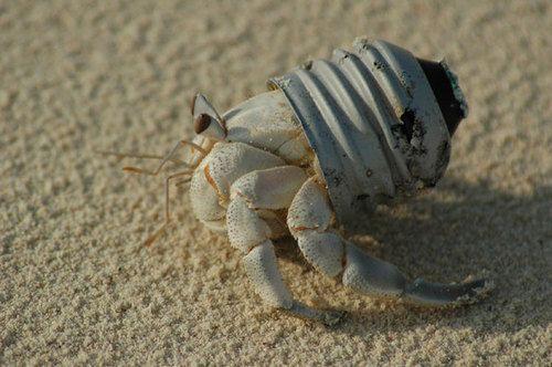 Hermit Crab (Image via tumblr)