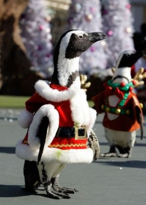 Christmas Penguins (Image via Cutest Paws)