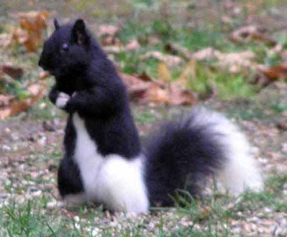 Another Tuxado Squirrel (Image via PetsLady)