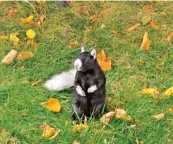 Tuxedo Squirrel in Toronto (You Tube Image)