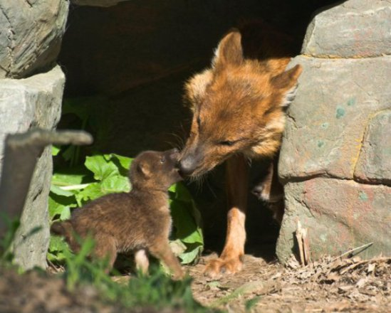 Asian wild dog pup at the Minnesota Zoo: image: The Minnesota Zoo