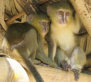 Lesula young monkeys in captivity: photo by John Hart via ens-newswire.com