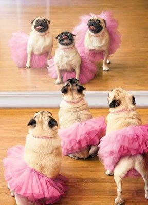 Ballet Pugs