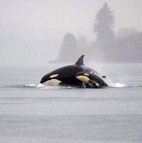 Beautiful Orcas