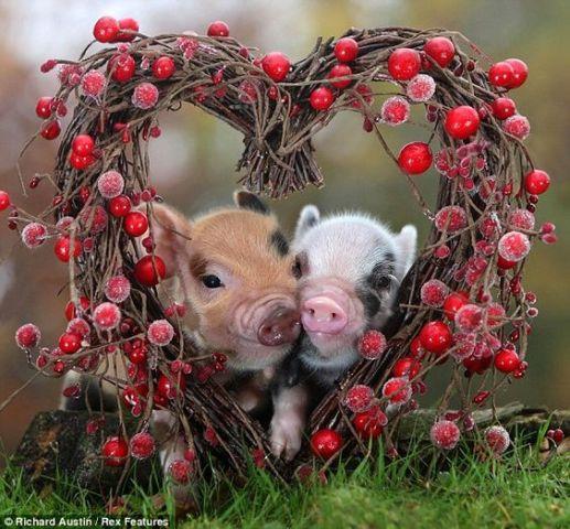 Valentine Swine