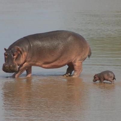 Mama and Baby Hippo