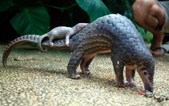 Mama and Baby Pangolins
