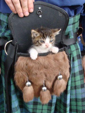 Sporran Kitten (Image via tumblr)