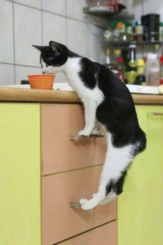 Chowder Cat