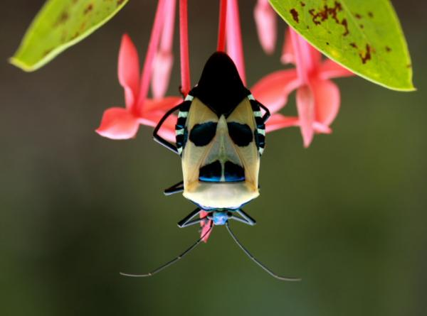 moustache shield bug