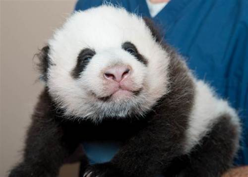 National Zoo's new baby panda, Bei Bei