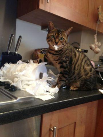 Towel Combat Cat (Image via imgur)