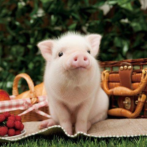 Picnic Pig