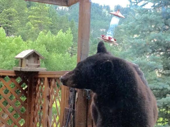 Snooping Bear (Photo by Roger Mordhorst)