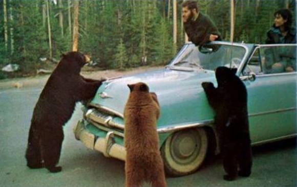 Road-Side Assistance Bears (Image via Amazing Earth)