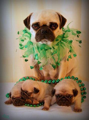 St. Patrick's Pugs