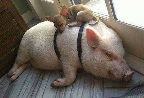 Pig and Chihuahua (Image via Compassion Over Killing)
