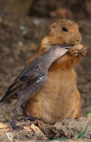 Prairie Dog and Friend