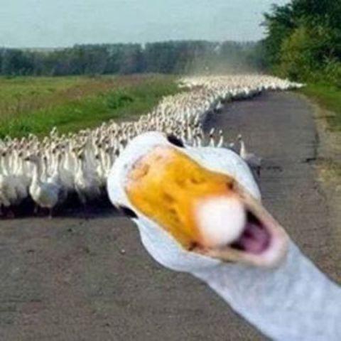 Goose Photo Bomb (Image via efachak)