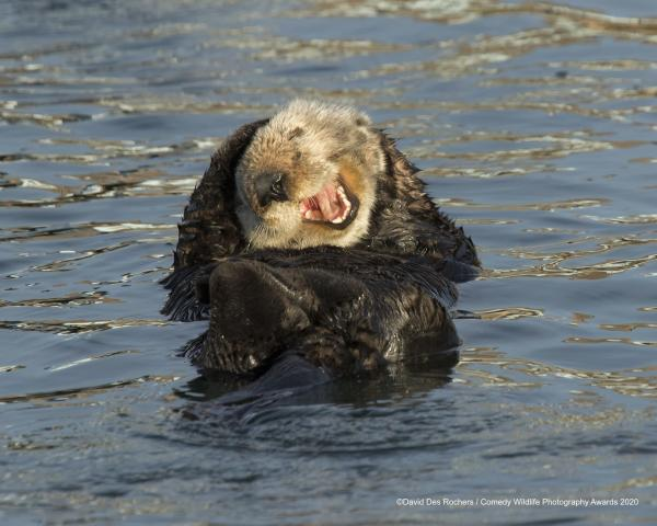"""Laughing Sea Otter"" © David DesRochers / Comedy Wildlife Photo Awards 2020 (Entry)"