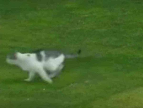 Cat Exiting the Soccer Field