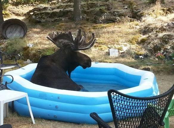 Pool Moose (Image via KHQ Local News)