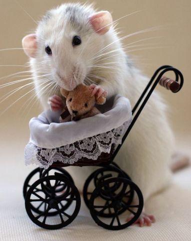 Adorable Rat