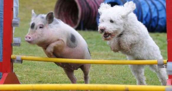 Athletic Pig (and Dog)
