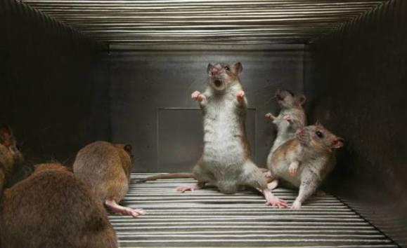 Rat Attack (Image via Matt Paxton)