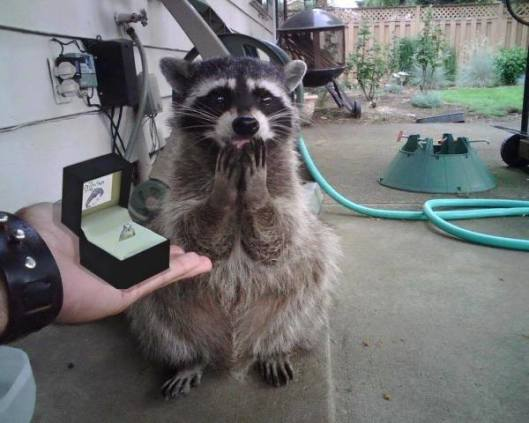 Engaged Raccoon (Image via Facebook)