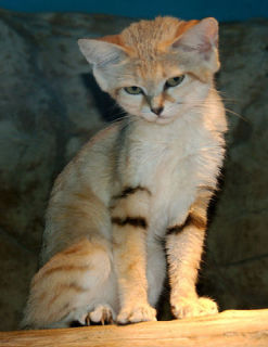 Adult Sand Cat: image via wikipedia.org