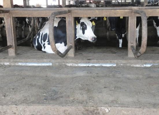 Dairy cow enjoys her new waterbed: image via ksdk.com