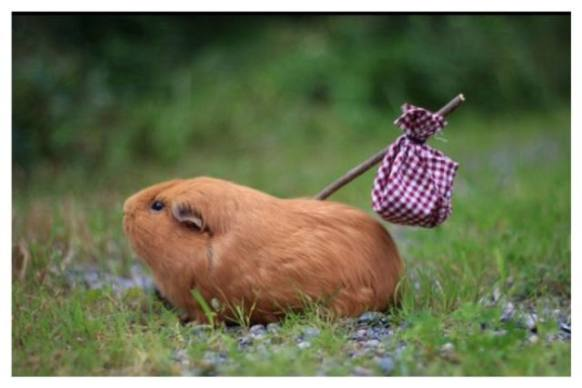 Runaway Guinea Pig (Image via Facebook)