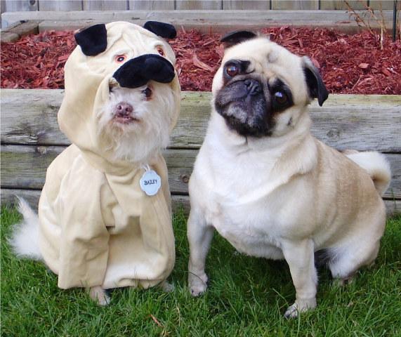 Imation Pug (Image via Buzzfeed)