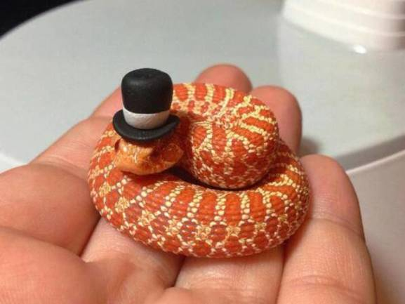 Top Hat Snake (Image via The Independent)