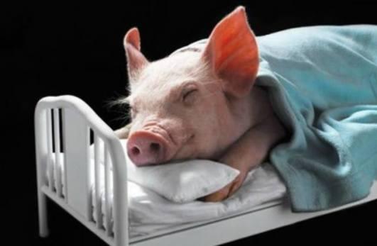 Snoozing Piglet
