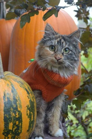 Pumpkin Patch Cat (Image via flickr)