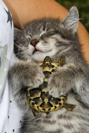 Kitten Cuddling a Turtle