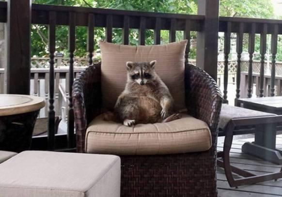 Leisurely Raccoon