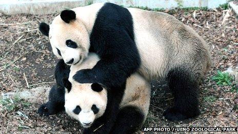 Shin Shin and Ri Ri, parents of newborn giant panda at Tokyo Zoo: image via oddonion.com